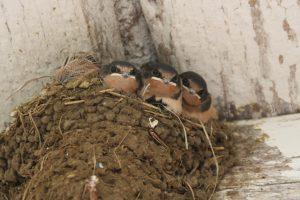 Baby-Barn-Swallows-300x200