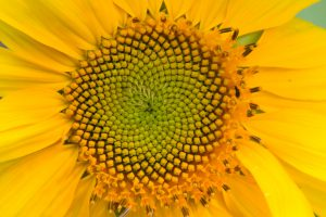 Fibonacci-Sunflower-300x200